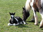 Percheron mare with Dales Pony crossbred foal.